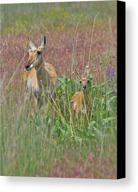 Pronghorn Canvas Print featuring the photograph Pronghorn Doe And Fawn by Karon Melillo DeVega