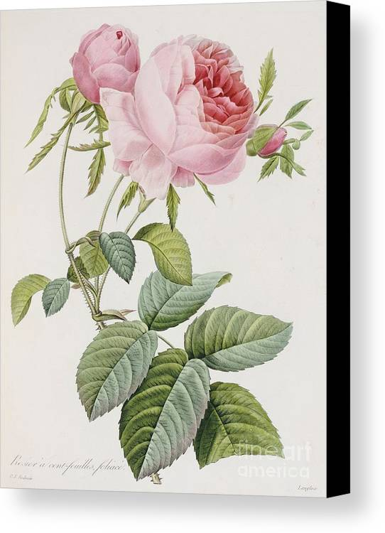 Flower Canvas Print featuring the painting Rose by Pierre Joesph Redoute