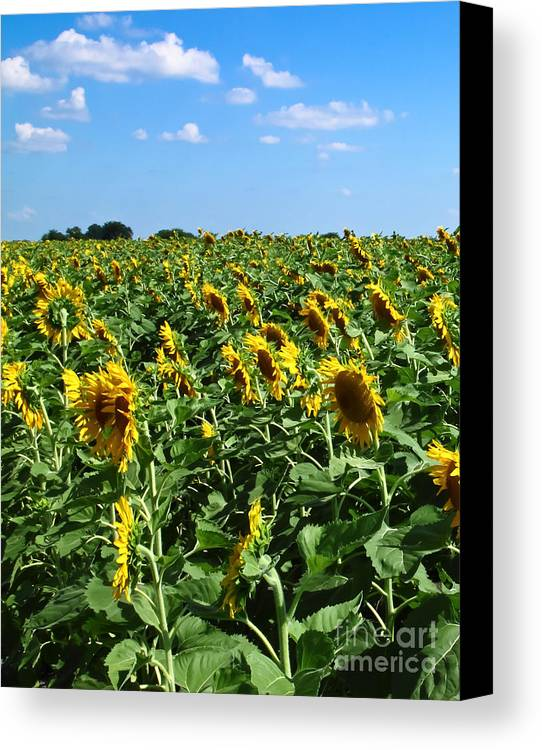 Sunflower Canvas Print featuring the photograph Windblown Sunflowers by Robert Frederick