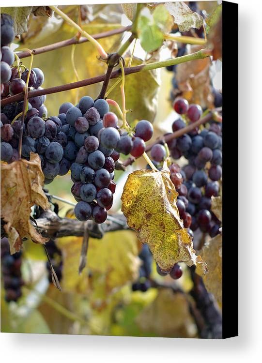 Grapes Canvas Print featuring the photograph The Vineyard by Linda Mishler