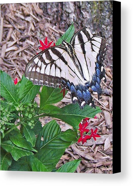 Blue And White And Black Butterfly Canvas Print featuring the photograph Blue Ridge Butterfly by Patricia Taylor