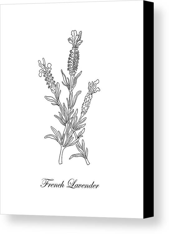 Drawing Smooth Lines Canvas : French lavender botanical drawing black and white canvas