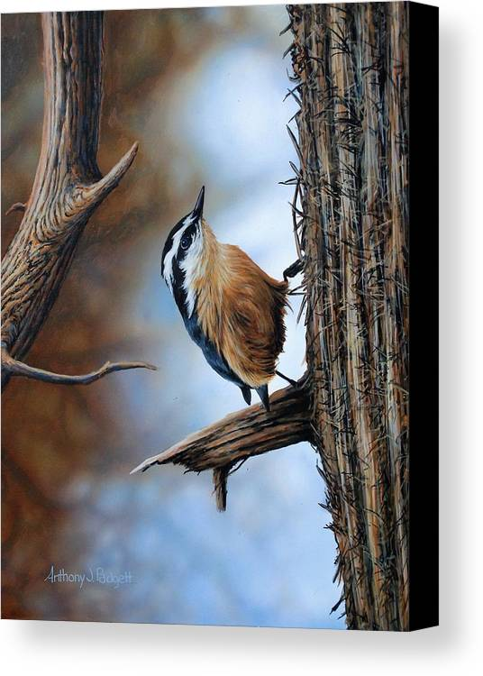 Nuthatch Canvas Print featuring the painting Hangin Out - Nuthatch by Anthony J Padgett