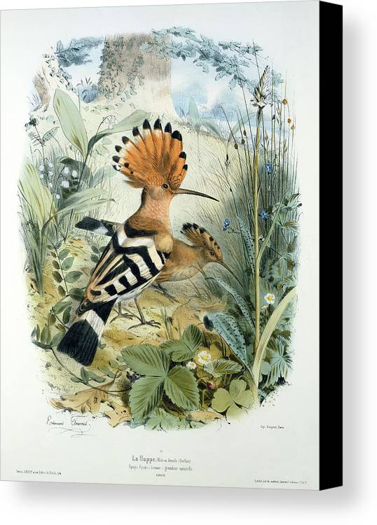 Hoopoe (upupa Epops) (colour Litho) By Edouard Travies (1809-c.1865) Canvas Print featuring the painting Hoopoe by Edouard Travies