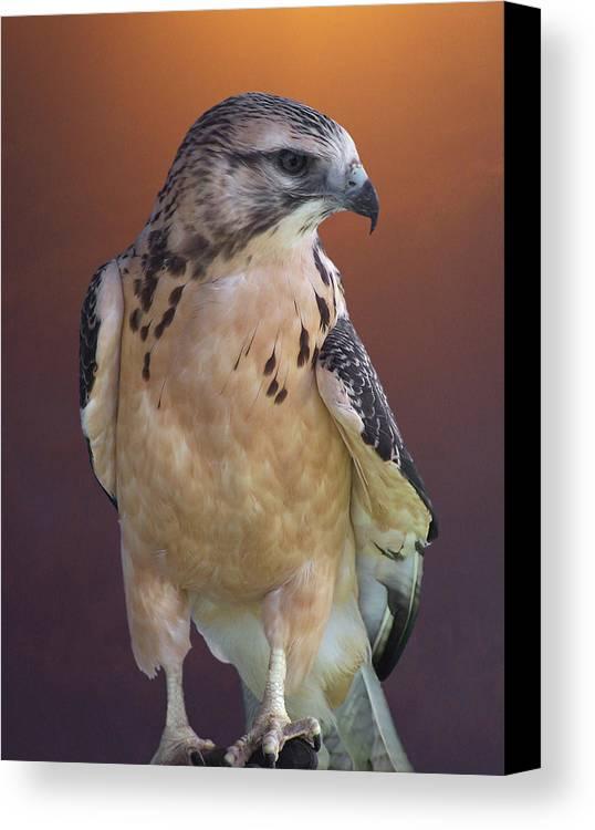 Light-morph Immature Swainson's Hawk Canvas Print featuring the photograph Light Morph Immature Swainsons Hawk by Ernie Echols