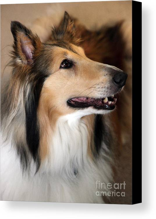 Collie Canvas Print featuring the photograph Molly by Amanda Barcon