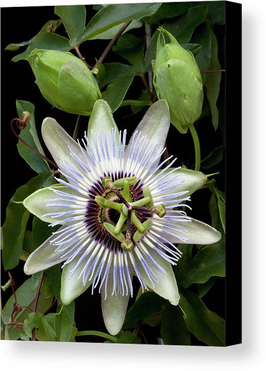 Passion Flower Canvas Print featuring the photograph Passion Flower 1 by George Sanquist