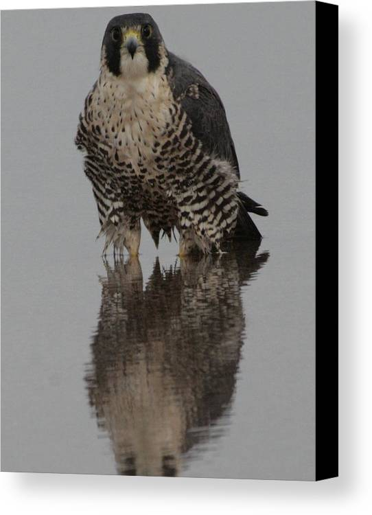 Peregrine Falcon Canvas Print featuring the photograph Peregrine Falcon Reflection by Christopher Kirby