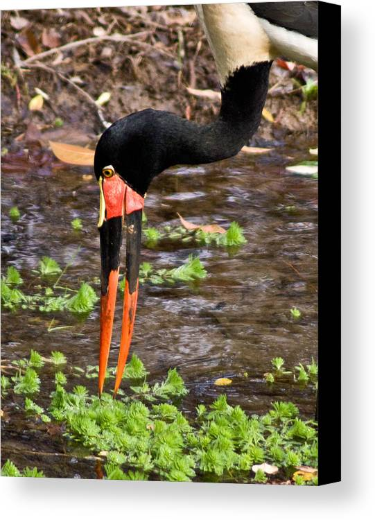 Red Canvas Print featuring the photograph Red-crowned Crane by Douglas Barnett