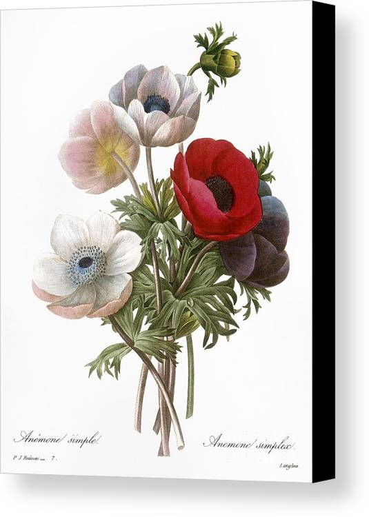 1833 Canvas Print featuring the photograph Redoute: Anemone, 1833 by Granger