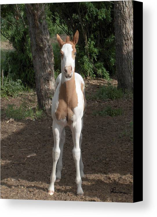 Horse Horses Colt Filly Mare Stallion Foal Ranch Farm Herd Paint Attitude Canvas Print featuring the photograph Sassy Filly by Andrea Lawrence