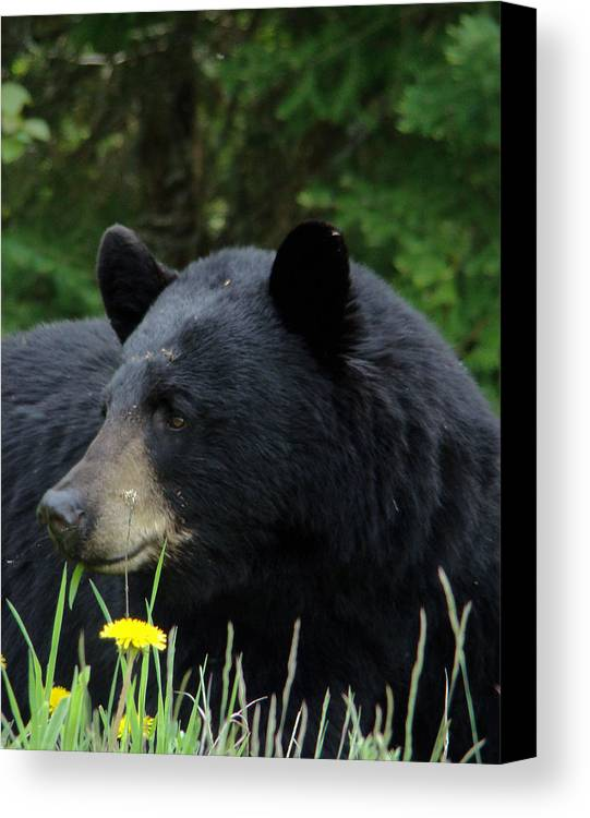Bear Canvas Print featuring the photograph Silly Ole Bear by Tingy Wende