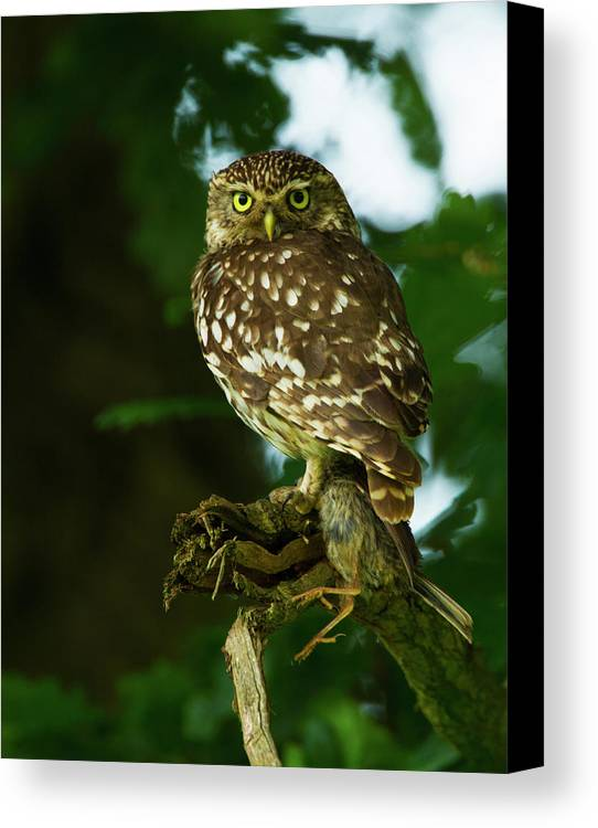 Littleowl Canvas Print featuring the photograph The Hunter by Paul Scoullar