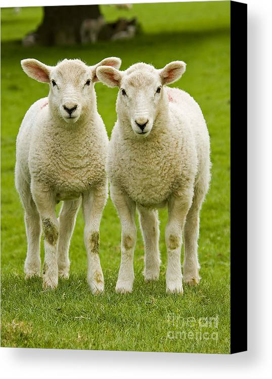 Agriculture Canvas Print featuring the photograph Twin Lambs by Meirion Matthias