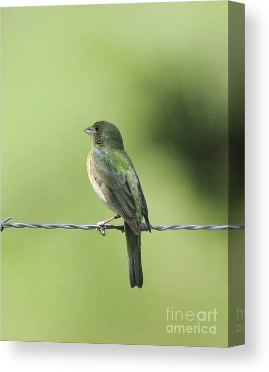 Animal Canvas Print featuring the photograph Female Painted Bunting by Robert Frederick