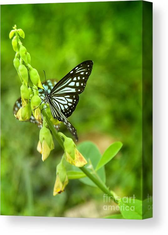 Butterfly Canvas Print featuring the photograph Blue Butterflies In The Green Garden by Gina Koch
