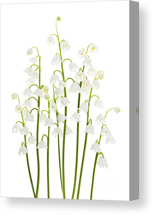 Flower Canvas Print featuring the photograph Lily-of-the-valley Flowers by Elena Elisseeva