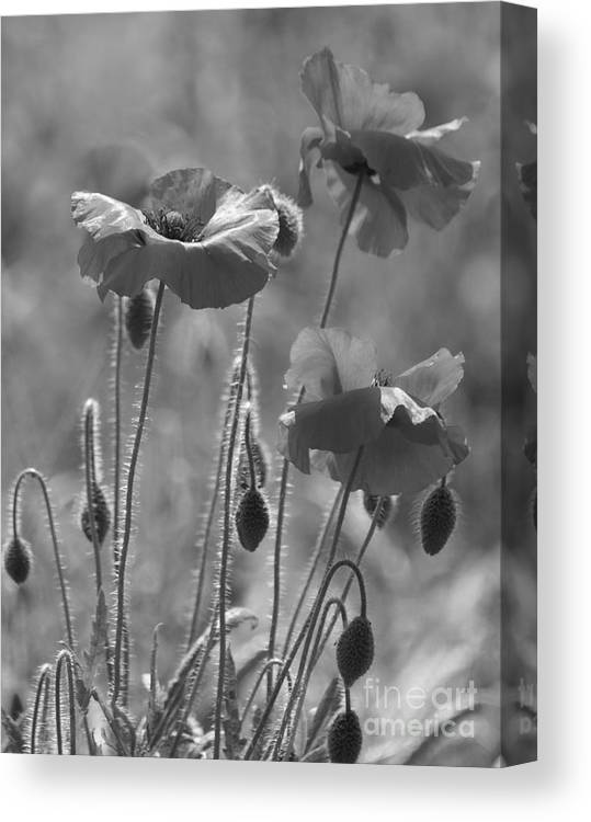 Poppies Canvas Print featuring the photograph Colour Blind Poppies 1 by Carol Lynch