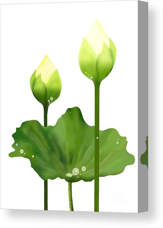 Fresh White Lotus Flowers And Leaf On White Background Canvas Print