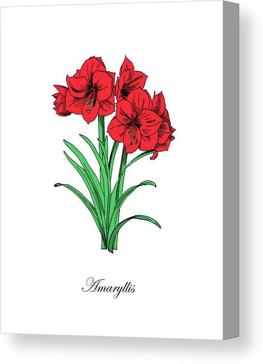 Amaryllis Canvas Print featuring the mixed media Colored Amaryllis. Botanical by Masha Batkova