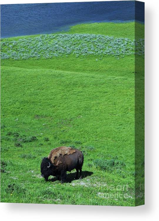 Yellowstone Bison Canvas Print featuring the photograph Yellowstone Bison by Allen Beatty