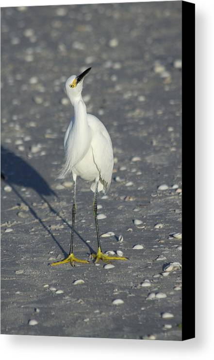 Snowy Egret Canvas Print featuring the photograph Another Flying Fish by Christiane Schulze Art And Photography