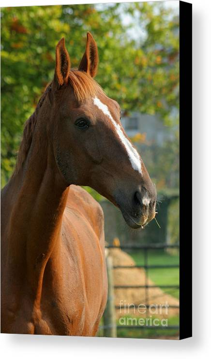Horse Canvas Print featuring the photograph Mr Handsome by Angel Ciesniarska
