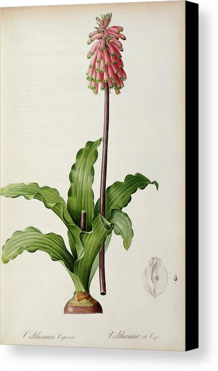 Veltheimia Canvas Print featuring the painting Veltheimia Capensis by Pierre Joseph Redoute