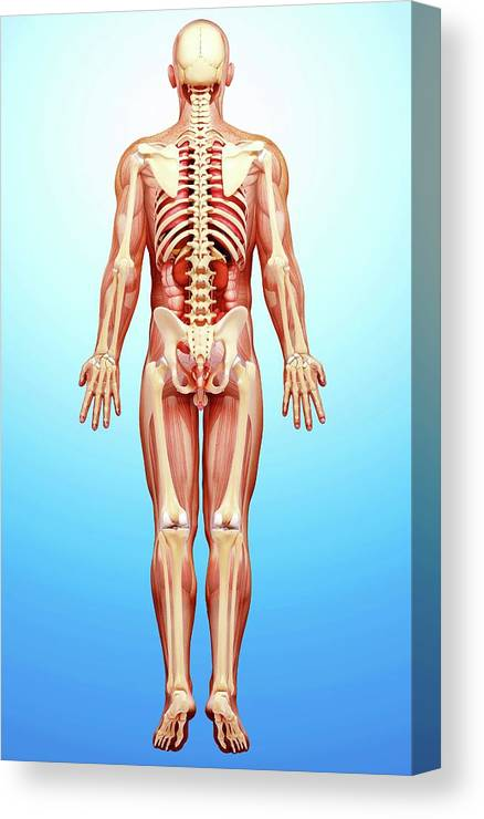 Artwork Canvas Print featuring the photograph Male Anatomy by Pixologicstudio/science Photo Library