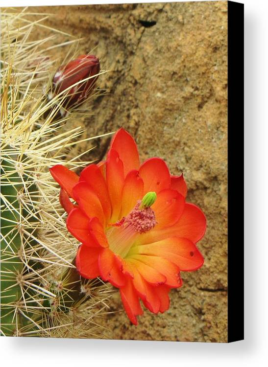 Cactus Southwest Cactus Flower Orange Wildflowers Nature Arizona Canvas Print featuring the photograph Cactus Flower Bright by Feva Fotos