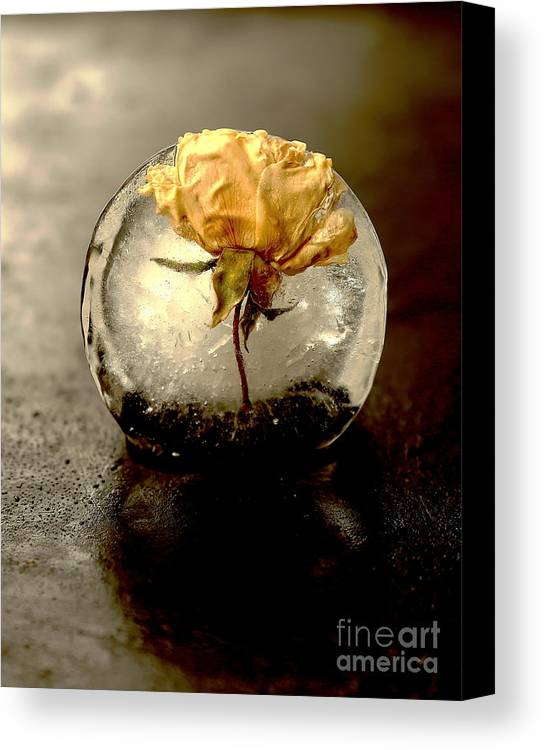 Frozen Canvas Print featuring the photograph Frozen Rose In The Dark by Eva Ozkoidi