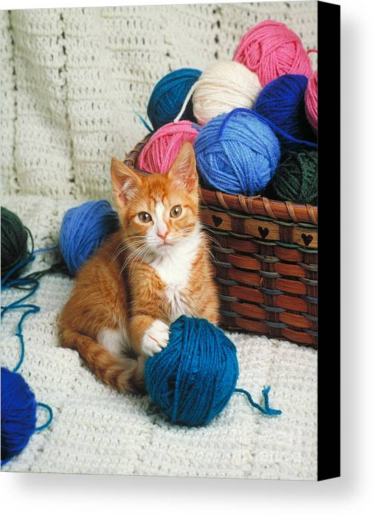 Kitten Canvas Print featuring the photograph Kitten Playing With Yarn by David N Davis