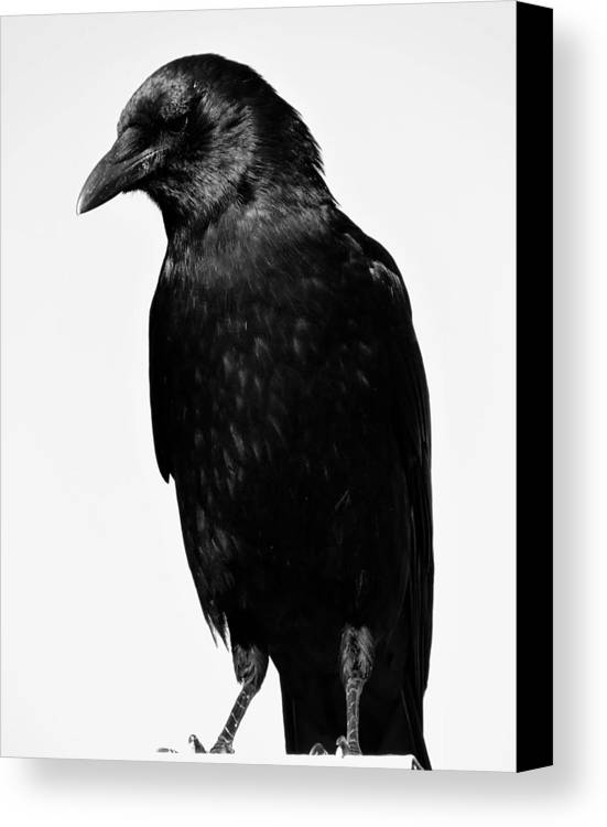 Crow Canvas Print featuring the photograph Path Finder by Julie Hughes