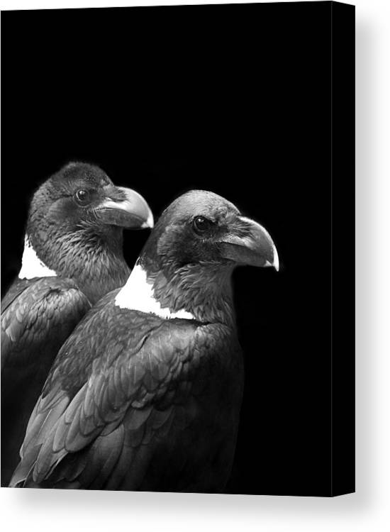 Baby Decor Canvas Print featuring the photograph Raven Pair by Julie Keller