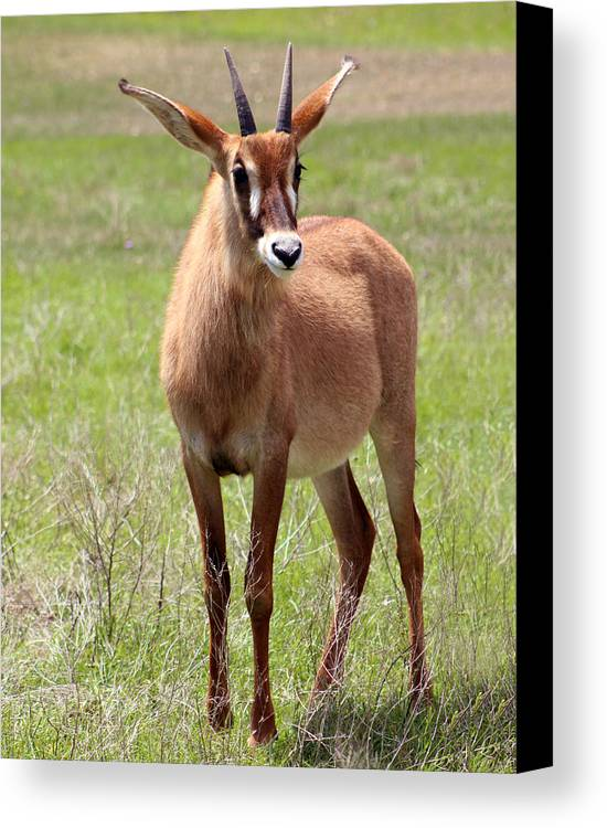 Baby Decor Canvas Print featuring the photograph Sable Antelope Calf by Julie Keller