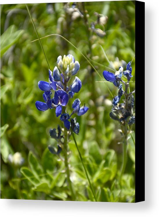 Texas Wildflower Canvas Print featuring the photograph Texas Bluebonnet by Corrie Blackshear