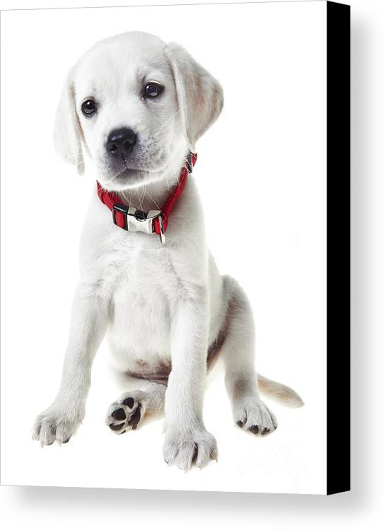 Puppy Canvas Print featuring the photograph Yellow Lab Puppy by Diane Diederich