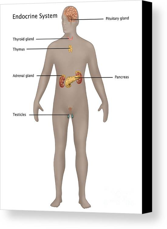 Endocrine System In Male Anatomy Canvas Print / Canvas Art by Gwen ...