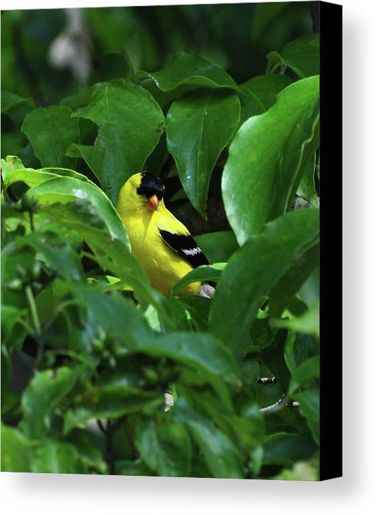 Pats House1 Jpg.518e1bright American Goldfinch Canvas Print featuring the photograph Bright American Goldfinch by Chris Tennis