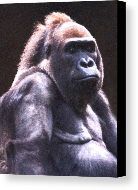 Gorilla Canvas Print featuring the photograph Gorilla by Steve Karol