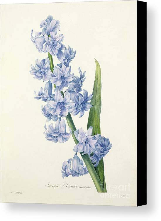 Hyacinthus Canvas Print featuring the drawing Hyacinth by Pierre Joseph Redoute