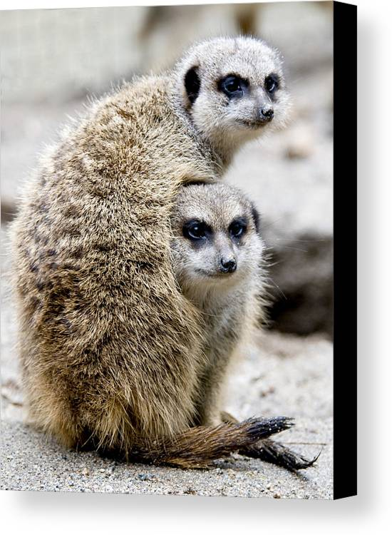 Animals Canvas Print featuring the photograph Meerkats by Jerry Weinstein