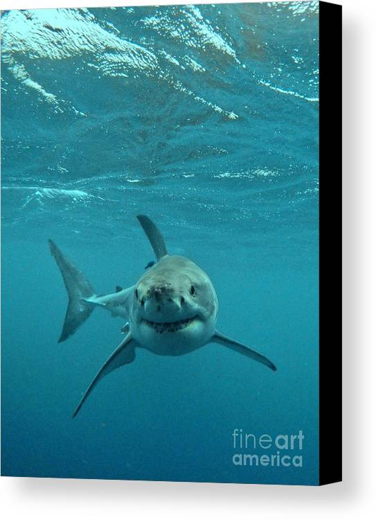 Great White Shark Canvas Print featuring the photograph Smiley Shark by Crystal Beckmann