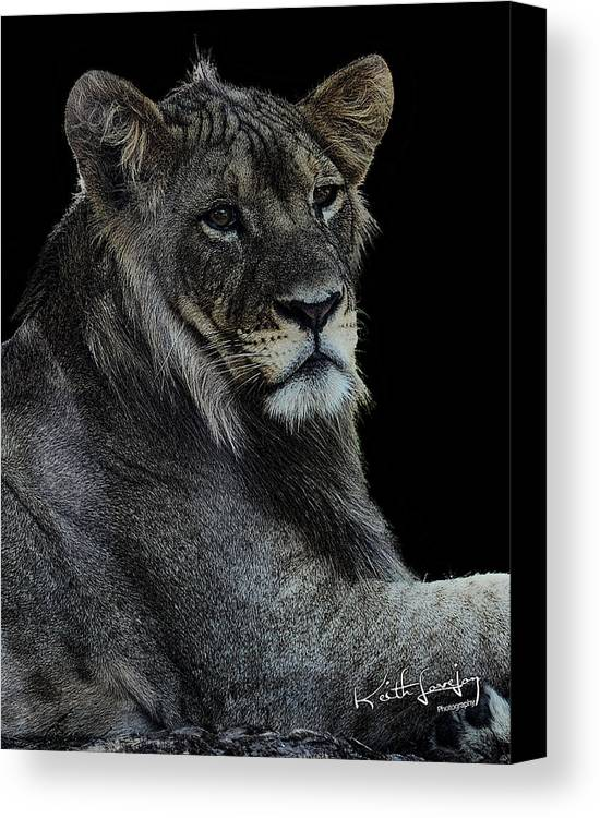 Lion Canvas Print featuring the photograph Young Lion by Keith Lovejoy
