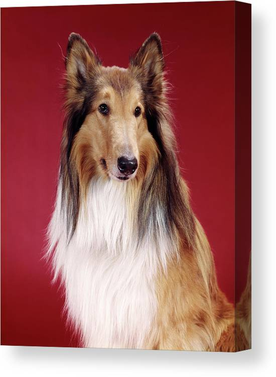 Photography Canvas Print featuring the photograph 1960s Portrait Of Collie Dog On Red by Vintage Images