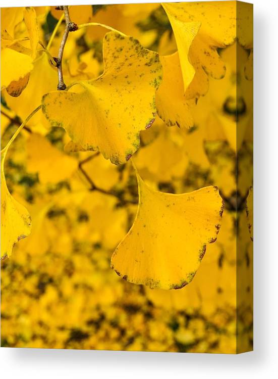 Ginkgo Tree Canvas Print featuring the photograph Gingko Tree by Matt McClintock