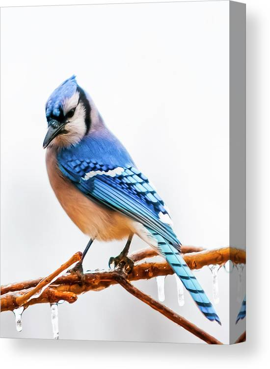 Bird Canvas Print featuring the photograph Royal Blue by Ron McGinnis