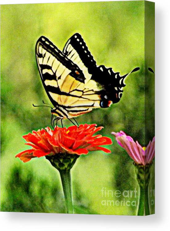 Swallowtail Canvas Print featuring the photograph Swallowtail Resting by Melody Meadows