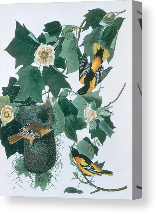 Engraving Canvas Print featuring the digital art Baltimore Orioles Icterus Galbula by N A S.