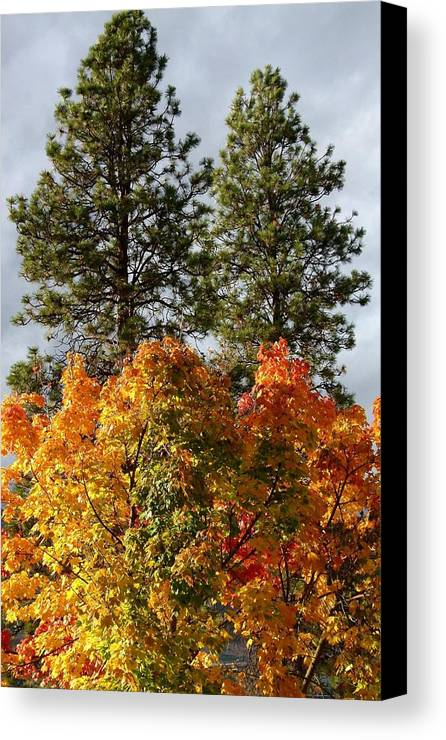 Autumn Maple With Pines Canvas Print featuring the photograph Autumn Maple With Pines by Will Borden